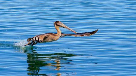 pelican, bird, sea
