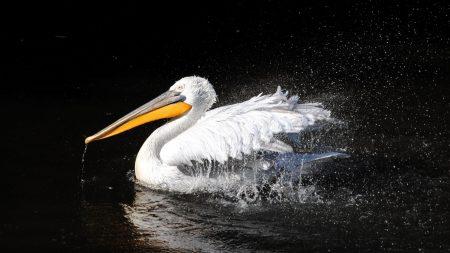 pelican, bird, swim