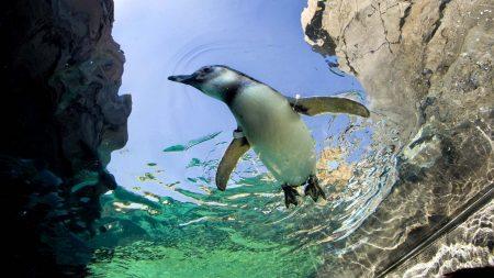 penguin, swim, water