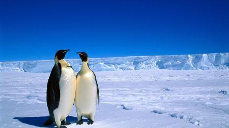 penguins, couple, snow