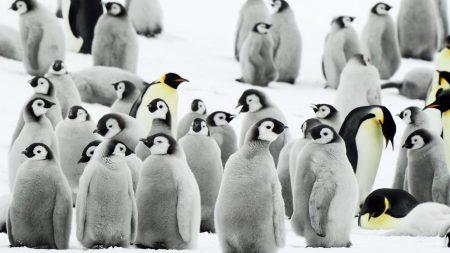 penguins, flock, snow