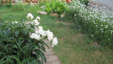 peonies, daisies, grass