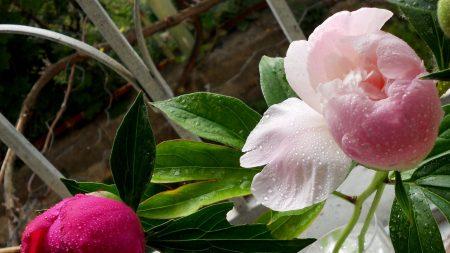 peonies, vase, flowers