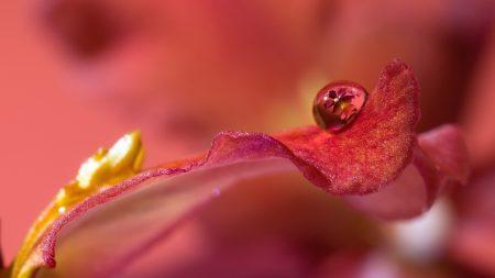 petal, drop, flower