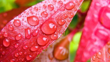 petals, leaves, pink