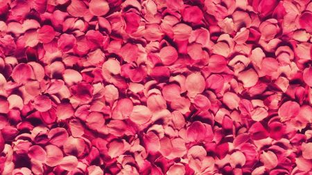 petals, rose, red