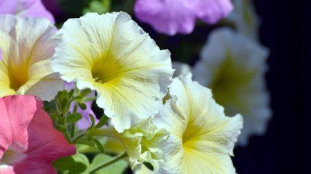 petunia, bright, colorful