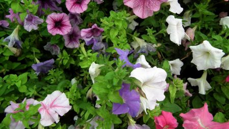 petunia, color, colorful