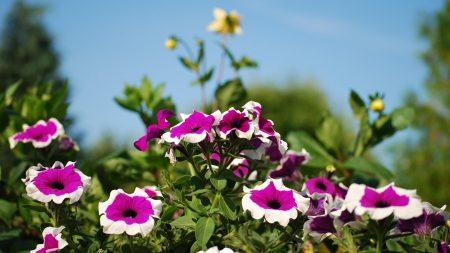 petunia, flower, flowerbed
