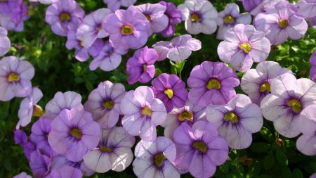 petunia, flowers, flowerbed