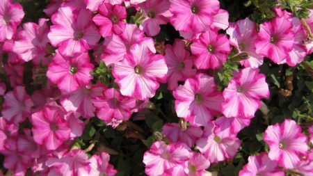 petunia, flowers, light