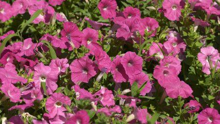 petunia, flowers, pink