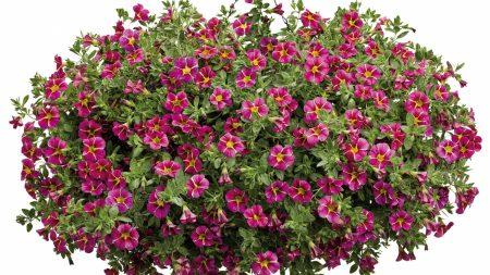 petunia, flowers, pots