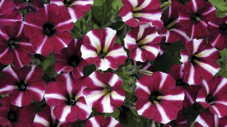 petunia, flowers, striped