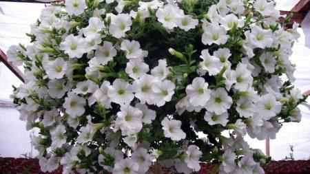 petunia, flowers, white