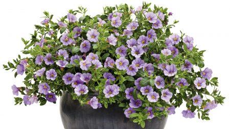 petunia, planters, green