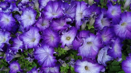 petunia, purple, two-tone