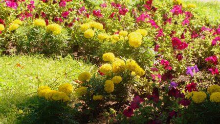 petunia, velvet, flowers