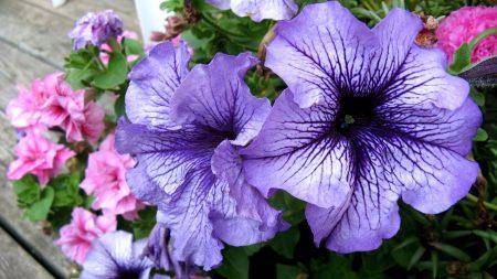 petunias, flower, flowerbed