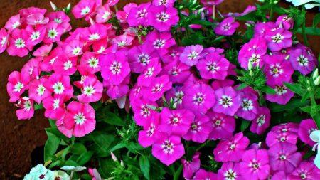 phlox, flower, flowerbed