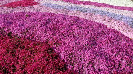 phlox, flowers, flowerbed