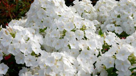 phlox, flowers, white