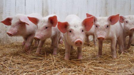 pig, calves, grass