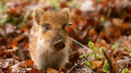 pig, dirt, leaves