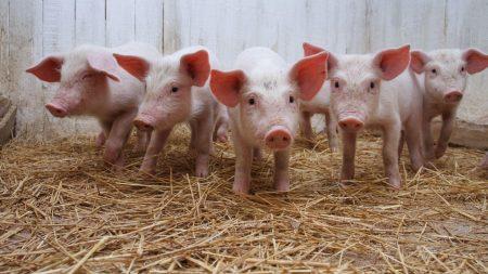 pig, hay, much