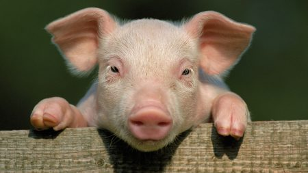pig, little pig, countryside