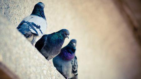 pigeons, bird, color