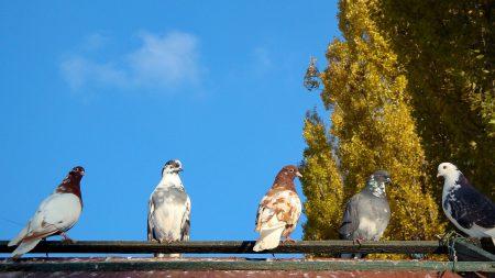 pigeons, birds, trees