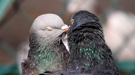 pigeons, tenderness, kissing