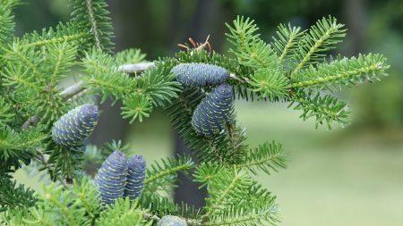 pine needles, pine cones, tree