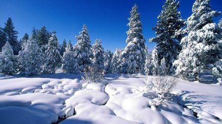 pines, snow, snowdrifts