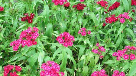 pinks, garden, flowerbed