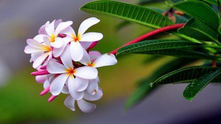 plumeria, exotic, drop