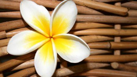 plumeria, flower, close up