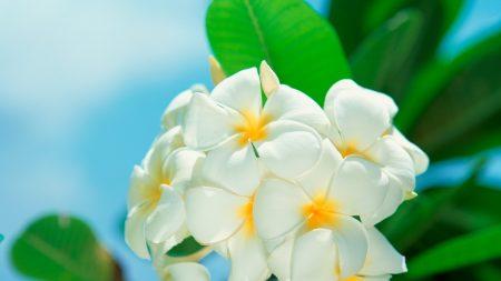 plumeria, flower, petals