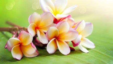 plumeria, flowers, branch