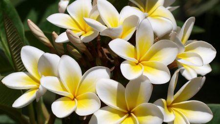plumeria, flowers, buds
