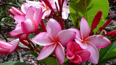 plumeria, flowers, leaves