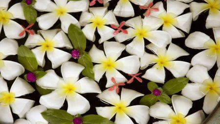 plumeria, flowers, water