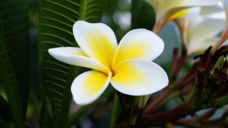 plumeria, petals, white