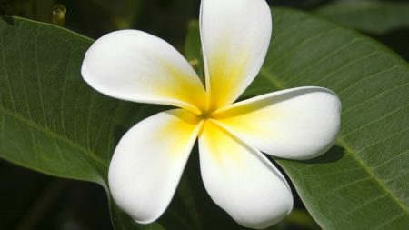 plumeria, white, flower