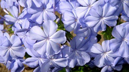 plyumbago, flower, blue