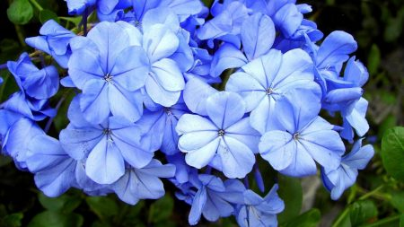 plyumbago, flowers, blossom