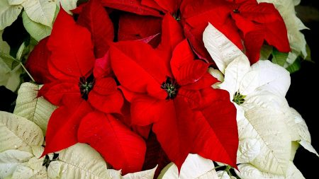 poinsettia, flower, two-colored
