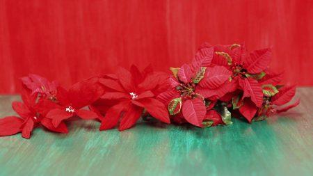 poinsettia, flowers, lie