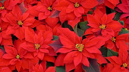 poinsettia, flowers, red